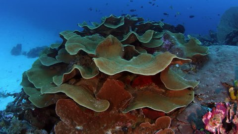 camera tracking around  a large pore coral, montipora florida, in the coral reef, WAKATOBI, indonesia, slow motion
