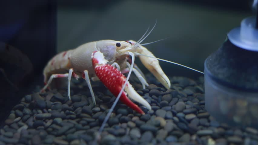 BANGKOK, THAILAND - December 17, 2017: Amazing Fancy Crayfish , Cross breed of crayfish developed by Thai people. The show was held at Pet Varity 2017 held at Impact Arena Muang Thong Thani