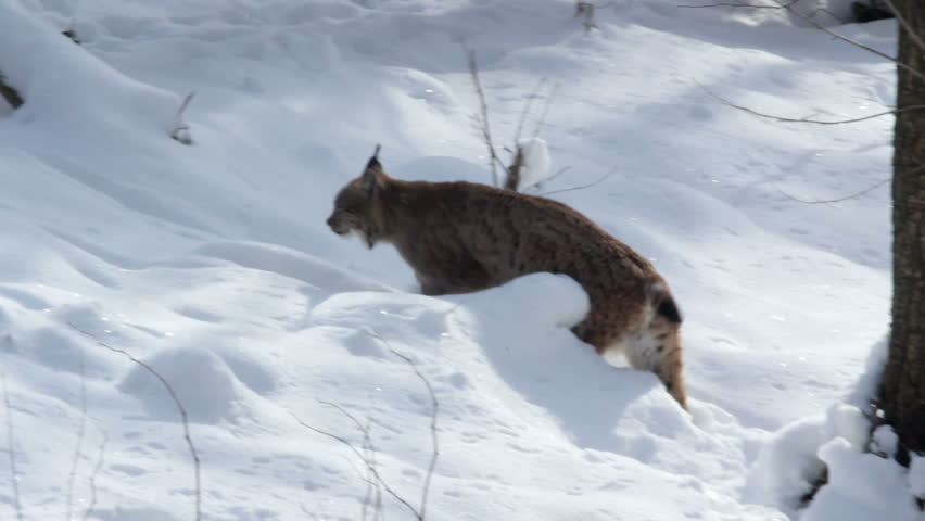 A European Lynx (Lynx lynx) walks in the woods on the snowy ground.