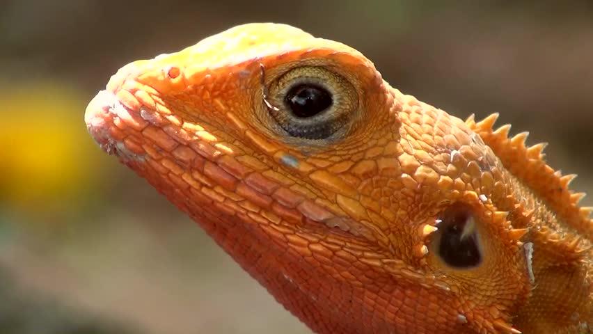 Header of Agamidae