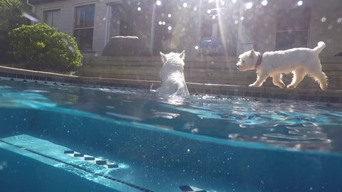 Split view of west highland white terrier westie dog swimming in blue pool at water surface, half underwater and above. Filmed in summer with dome port in Kerikeri, Northland, New Zealand, NZ