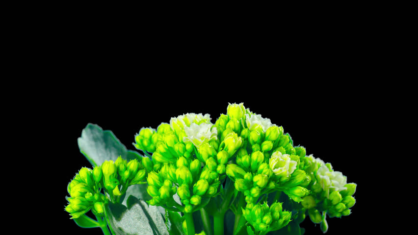 Kalanchoe of Blossfeld, time-lapse with alpha channel