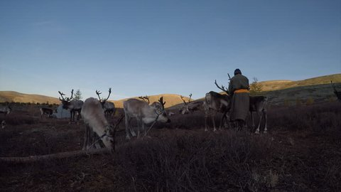 tsaatan man with his reindeers in northern Mongolia