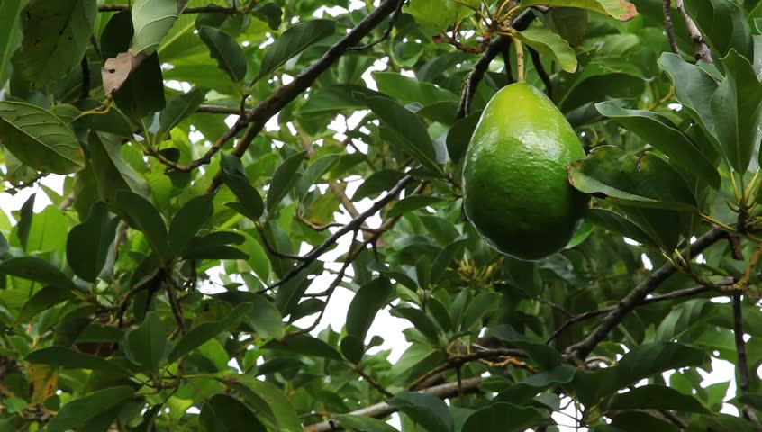 avocados growing in florida orchard - Growing Avocado Trees