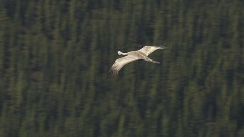 Aerial view of Sandhill crane Antigone canadensis flying a bird species which live in pairs and is a migrating animal Alaska America