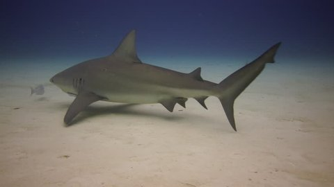 Bull shark approach in the Bahamas over sandy bottom in clear water