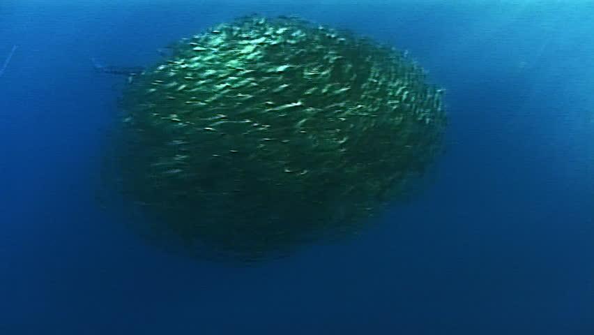 school of fish and marlin