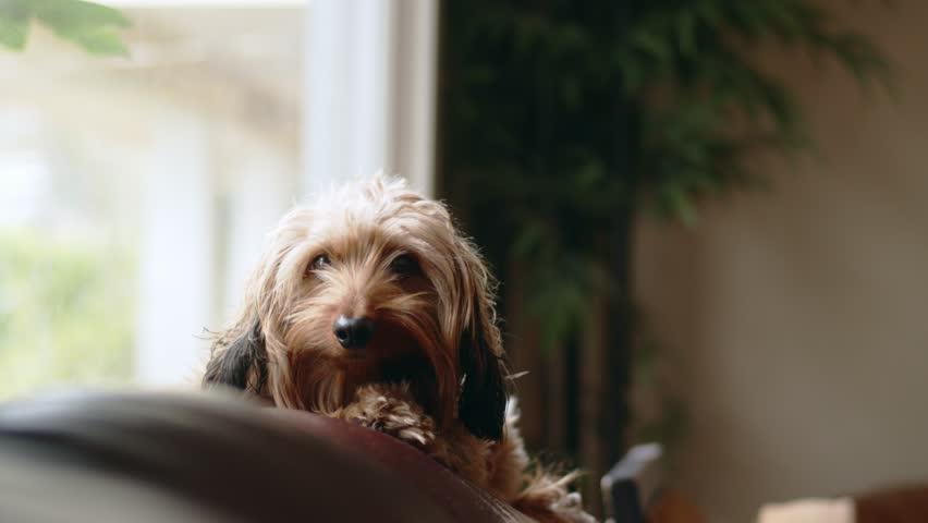 Cute long-haird dog on couch perking his ears up   Shutterstock HD Video #34756573