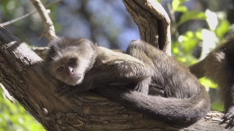 Scene of two young Capuchin monkeys sunning