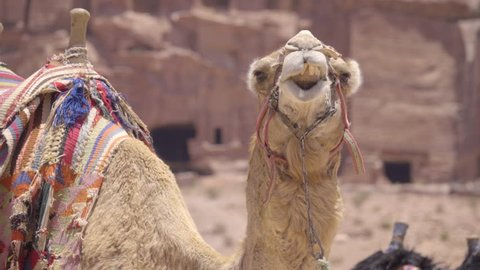 Funny view as camel chews cud while looking at camera