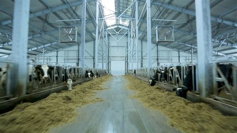 cows eating hay in cowshed on dairy farm. modern cowshed