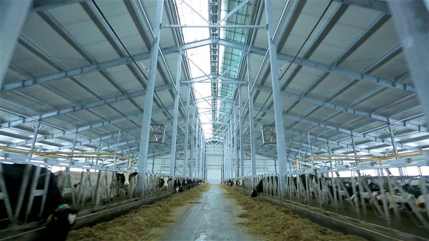 Milk farm. Agriculture industry. Modern farm barn with milking cows eating hay. Cows feeding on dairy farm. Calf feeding on farm.