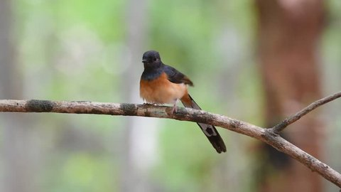 Bird (White-rumped shama or Copsychus malabaricus) male are glossy black with a chestnut belly and white feathers on the rump and outer tail perched on a tree in a nature wild
