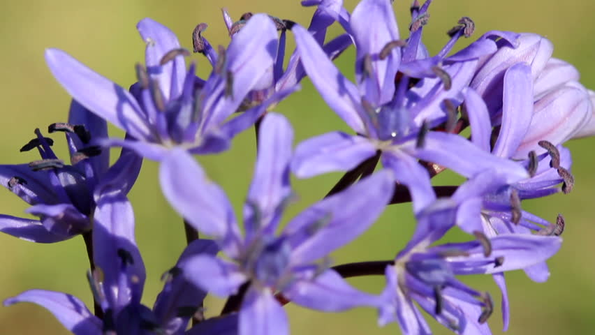 Two Leaf Squill Spring Flowers Macro Hd Stock Video Clip