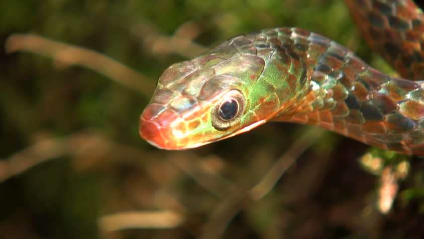Rusty whipsnake (Chironius scurrulus) protruding its tongue