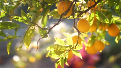 Pan across beautiful oranges growing on tree in garden. Slow motion, 4K UHD.