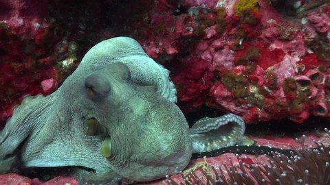 Octopus cyanea octopus crawls over the rock