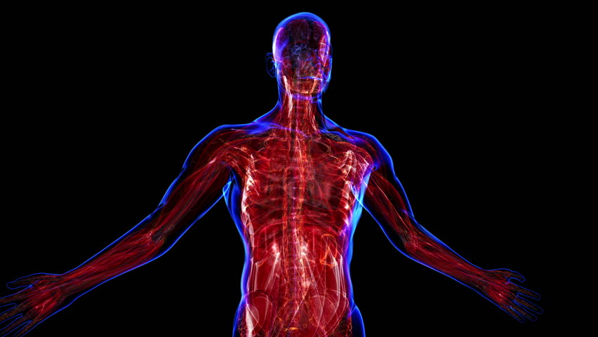 muscular system stock footage video | shutterstock, Muscles
