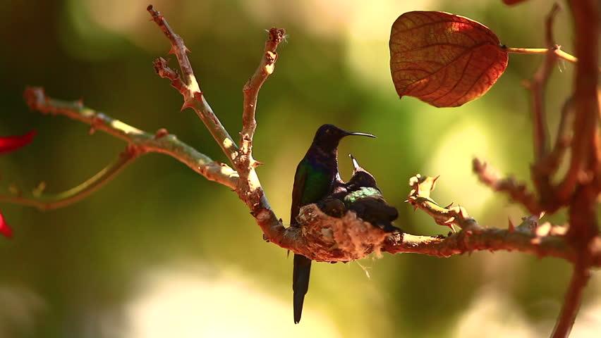 Mother hummingbird feeds one of her offspring | Shutterstock HD Video #34951873