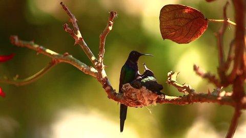 Mother hummingbird feeds one of her offspring