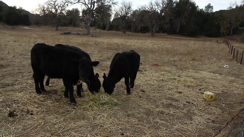 Three cattle on a ranch in Northern California eating some hay while also being surrounded by the drought-stricken land. | Shutterstock HD Video #35057143