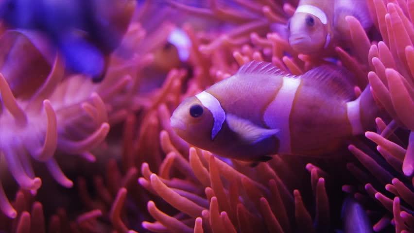 Family of clownfishes swimming through the orange anemones. Macro video
