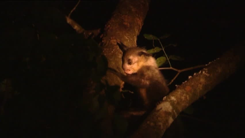 Aye Aye in tree 15 (searching for grubs) w/s zoom MCU