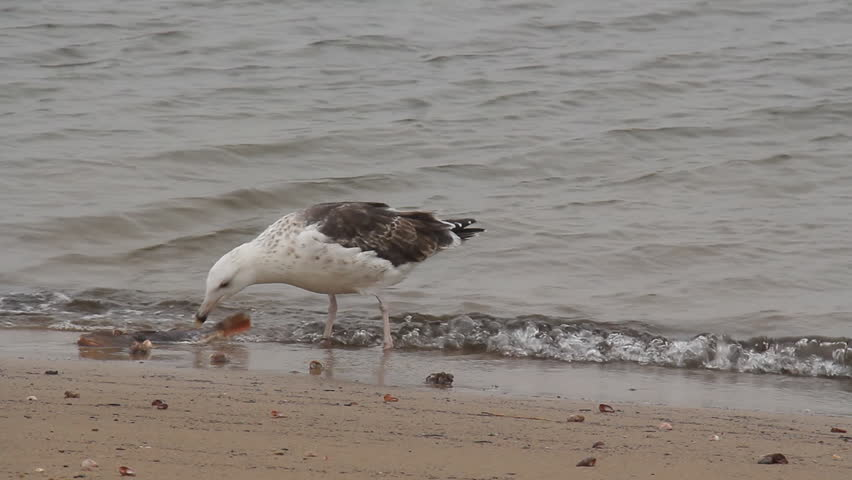 Seagull Eating a Dead Fish. A seagull picking at a rotting dead fish on a Connecticut beach.