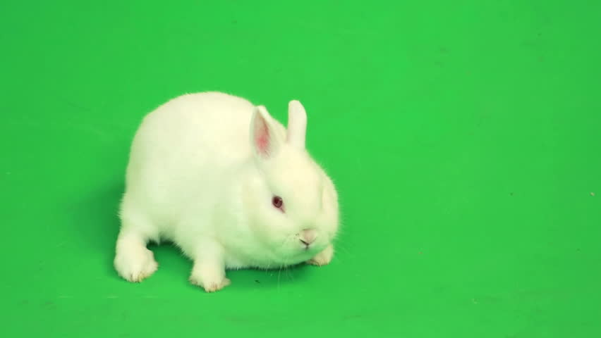 Fluffy white rabbit sniffing around  on green screen | Shutterstock Video #3548021