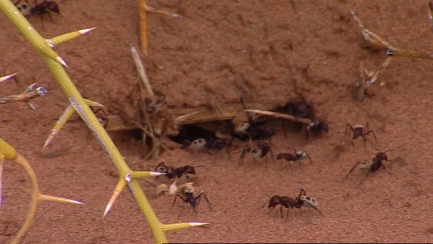 Namib Desert dune ant