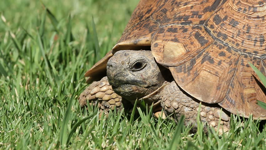 Close-up view of a leopard tortoise (Stigmochelys pardalis) on green grass, South Africa #3582323