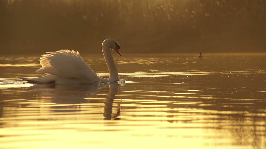 SLOW MOTION: Swan swimming in a lake