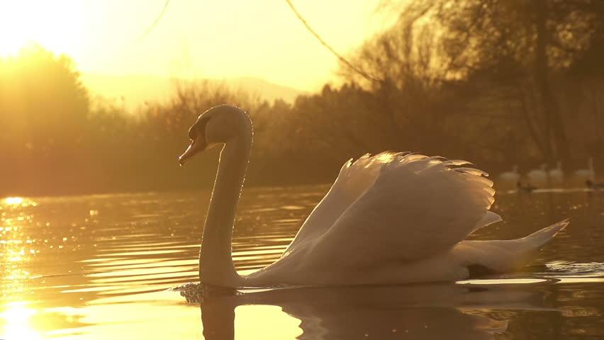 SLOW MOTION: swan swimming