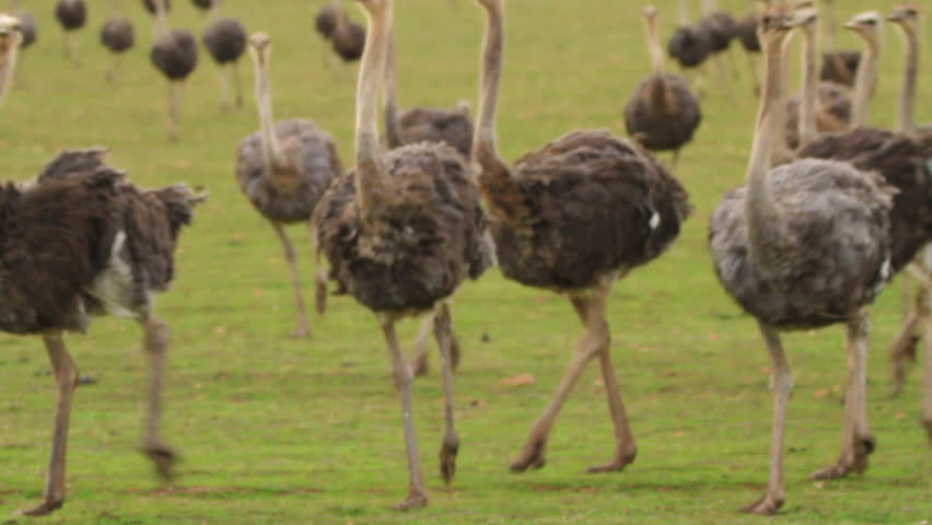 Ostriches running towards Camera