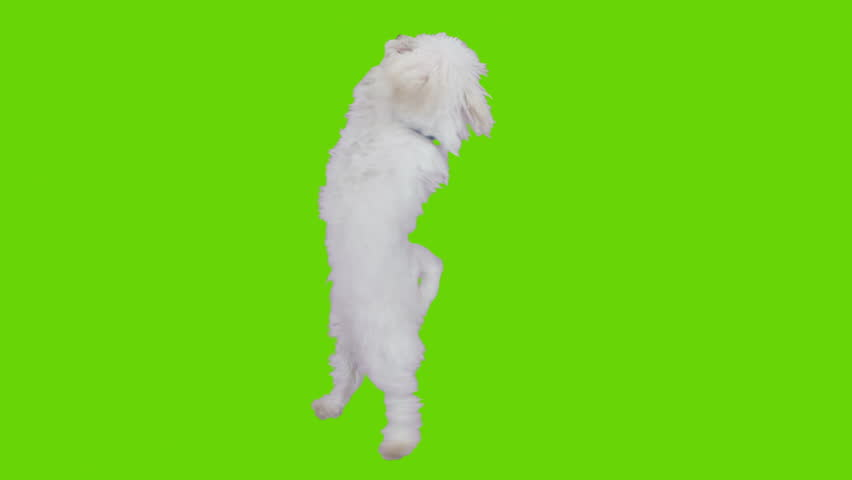 Dancing and jumping excited cute dog. Shot with red camera. Green screen ready to be keyed.  | Shutterstock HD Video #3605078