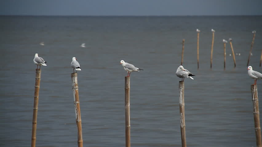 Seagull swooping to another bird. Seagulls holding on bamboo.
