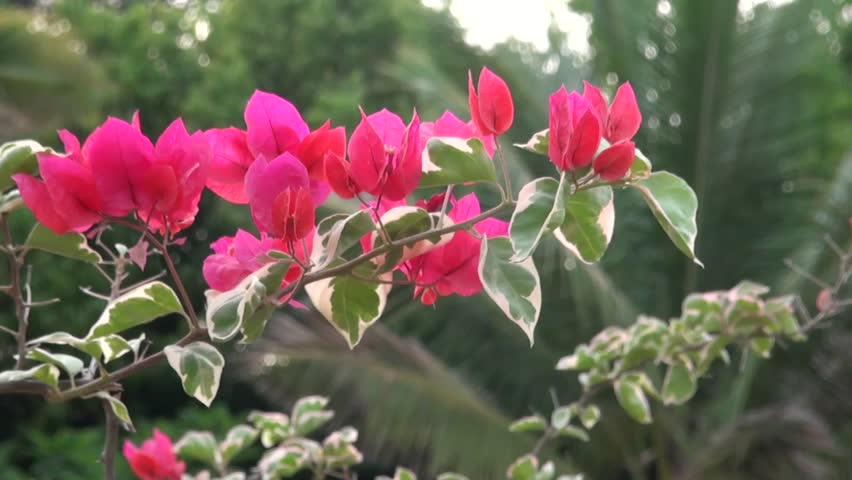 Red coloured Bougainvillea flowers sway in Kishkindha Moolika Bonsai Garden in Sri Ganapathy Sachchidananda Ashrama. This garden is acclaimed as India's largest and prettiest  Bonsai Garden.