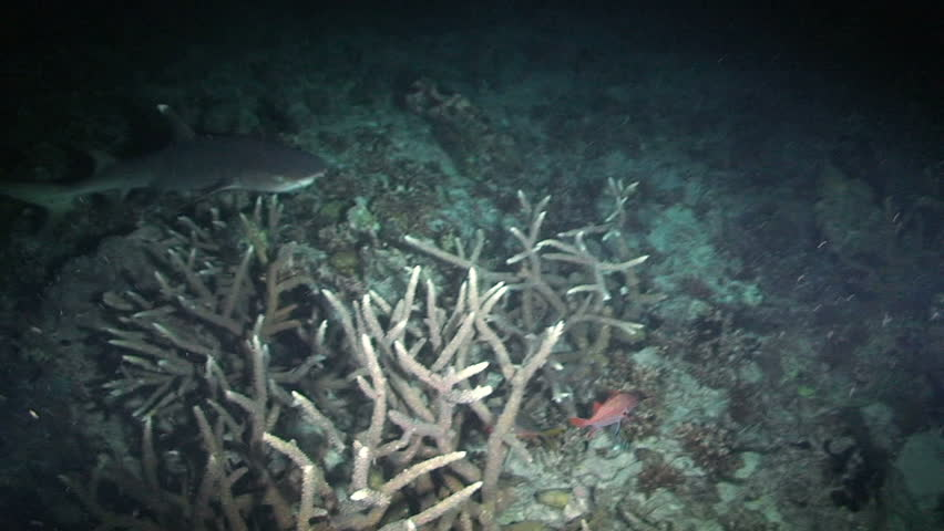 Reef whitetip shark, Triaenodon obesus, Papua New Guinea, Milne Bay