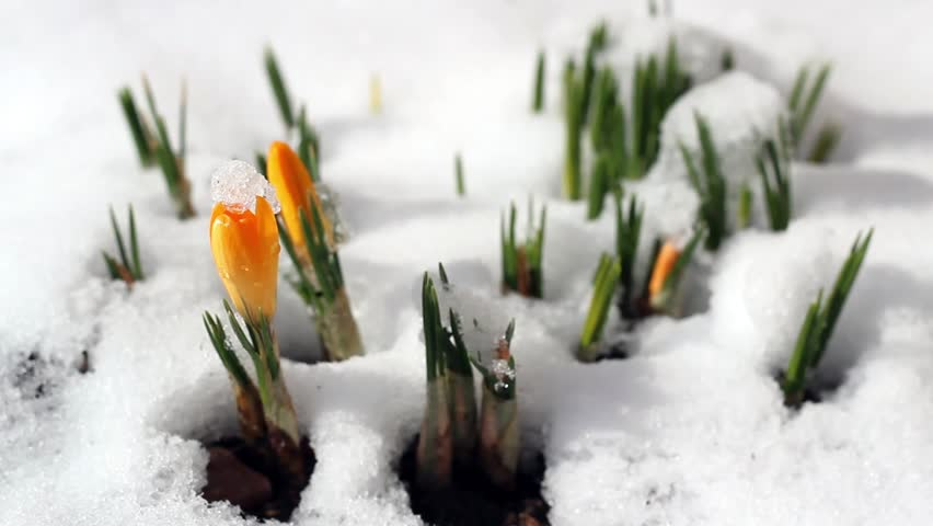 Early spring crocus flowers growing stock footage video 100 hd0008spring time lapse winter snow melts flower crocus early spring flowers growing from the snow mightylinksfo