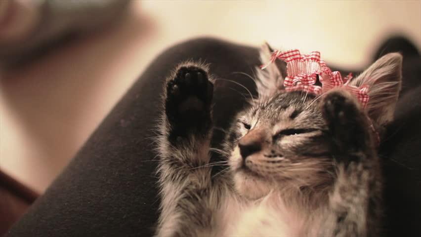 Kitten wearing ribbon asleep on the legs of ITS owner