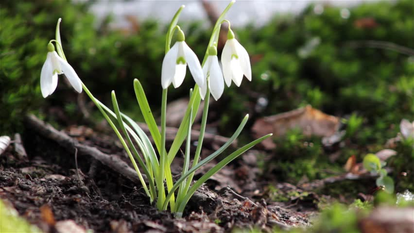 Stock video of first spring flowers snowdrops in the 3703193 stock video of first spring flowers snowdrops in the 3703193 shutterstock mightylinksfo