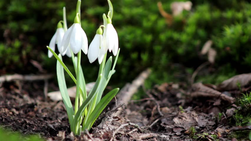 First Spring Flowers Snowdrops In The Woods Wild White Green Moss