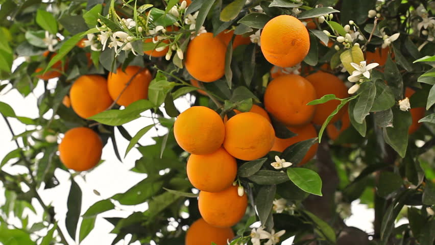 Mandarin Orange Tree Picture