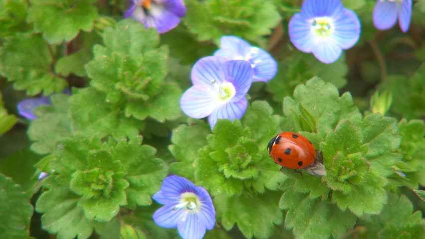 Ladybug Preparing Wings to Fly on Veronica Persica Flower, Ladybird, Bug, Macro