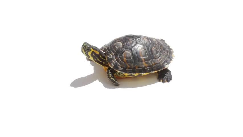 turtle white background - photo #12