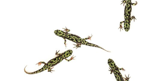 Top view of Marbled Newts walking on white background