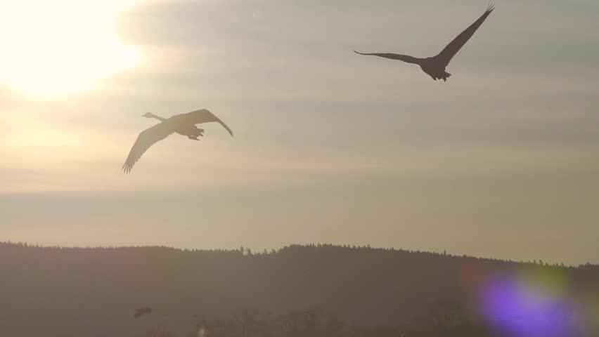 birds at hornborga lake sweden