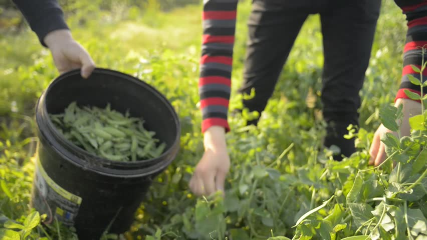 Farmers on the farm, picking beans.