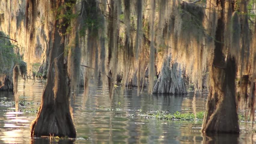 Louisiana bayou with cypress trees and moss