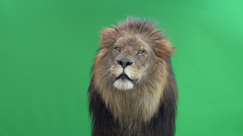 Slow Motion of a Lion shaking in front of a green key #3811643